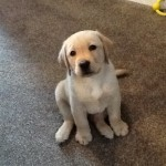 """Lewis"" Parbuckle Caribou Run) Yellow Labrador Dog aged 8 weeks"