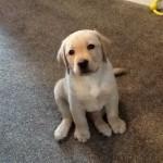 """Lewis"" Parbuckle Caribou Run) Yellow Labrador Dog aged 8 weeks"