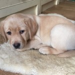 Yellow Labrador Puppy 8 weeks old (Parbuckle Harbour Grace)