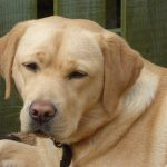 Yellow Labrador Head