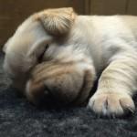 Yellow Dog Pup 13/01/15