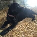 Black Labrador Pup Devon