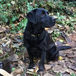 Black Labrador Devon