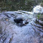 Water retrieve pigeon