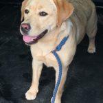 10 month Yellow Labrador