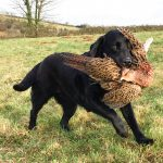 Ottie carries a fine retrieve
